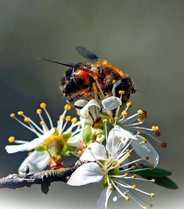 abeille avec de la propolis